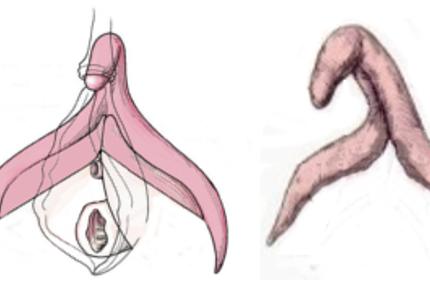 Clítoris, esquema del clitoris